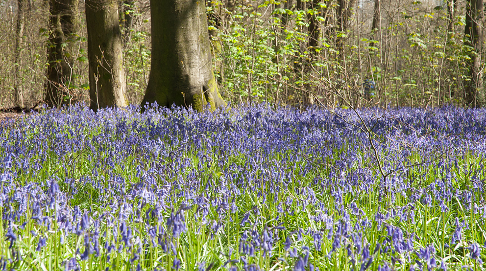 Carpets of blue cover the forest floor in April and May