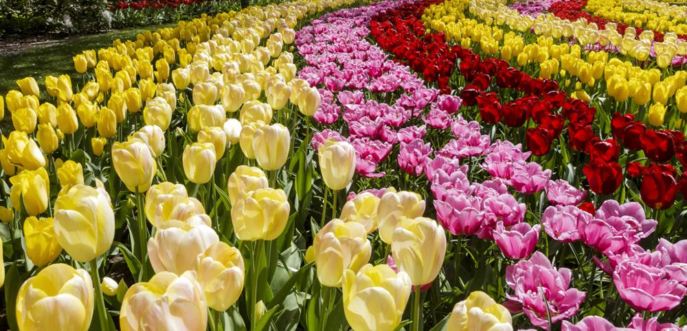 Keukenhof tulips are a visual feast