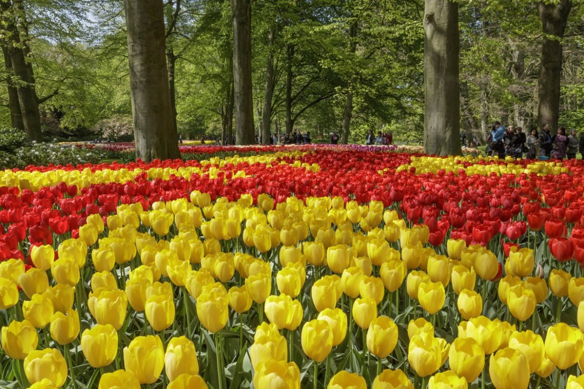 Red and yellow tulip bed in the gardens at Keukenhof