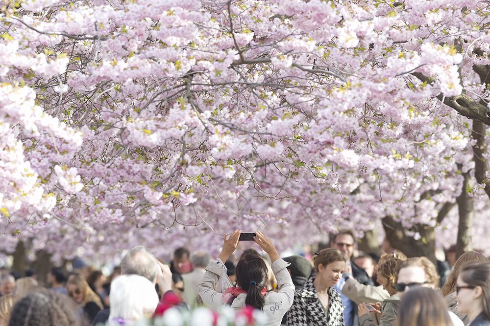 Cherry trees blooming in Kungstradgarden in Stockholm, Sweden