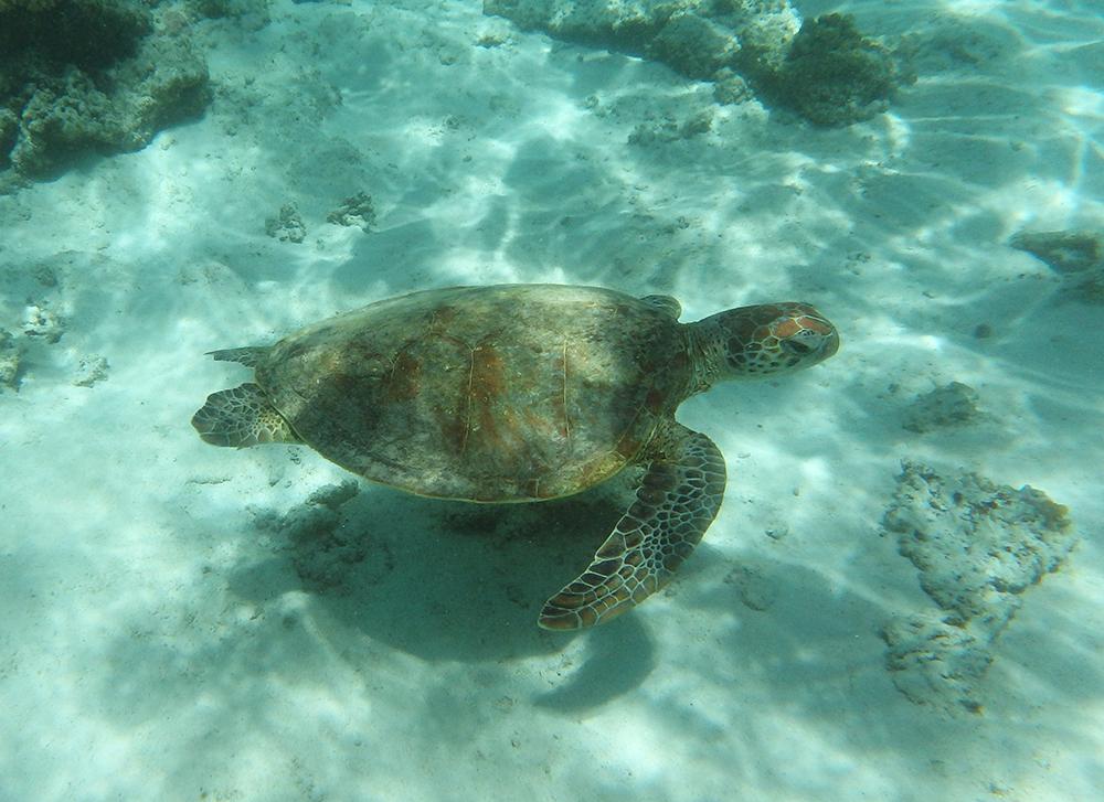 Turtle on the Ningaloo Reef