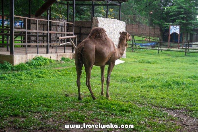 camel ibadan zoo