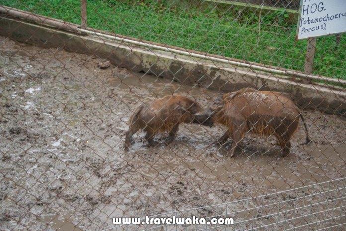 hog ibadan zoo