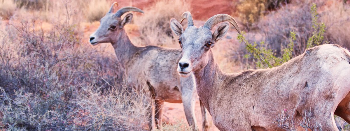 Desert Bighorn Sheep in the Valley of Fire