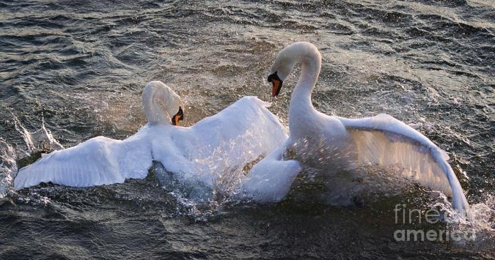 Swans nuptial dance