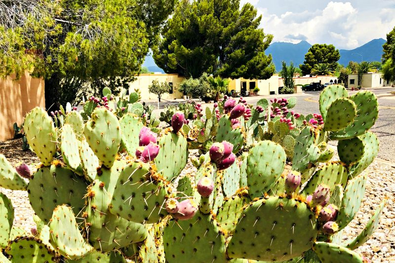 Monsoon season in Arizona: prickly pear