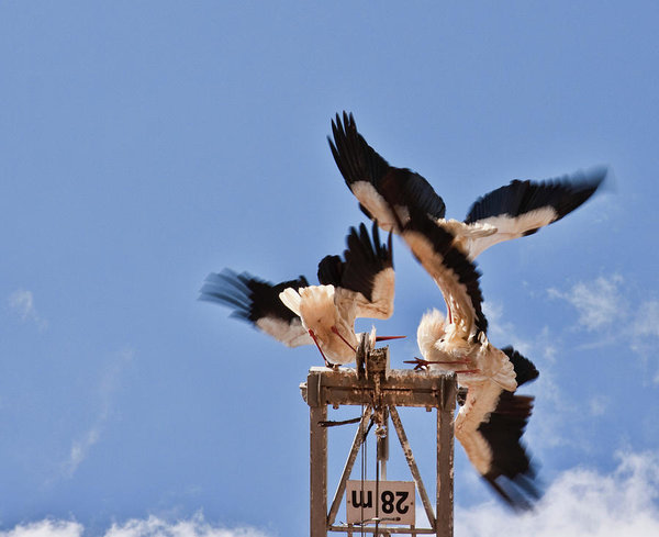 Battle of the storks at nesting time in Portugal