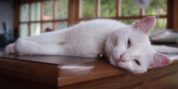 Lazy cat pet photography