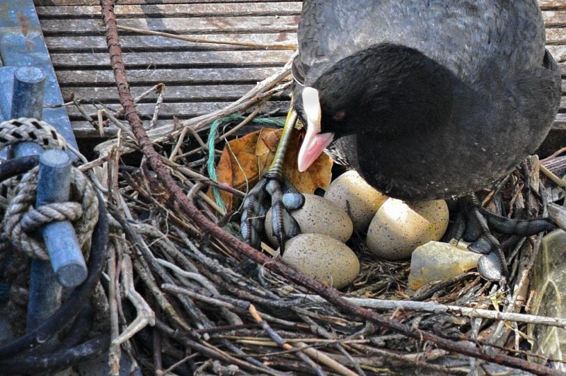 Coot nesting mother on Lake Constance, Germany