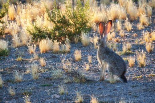 Jackrabbit in Mohave Desert, Arizona