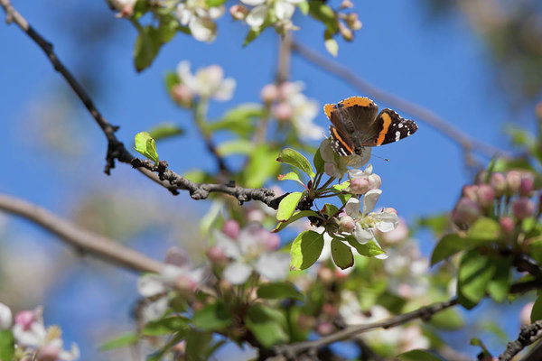 Monarch butterfly on cherry tree