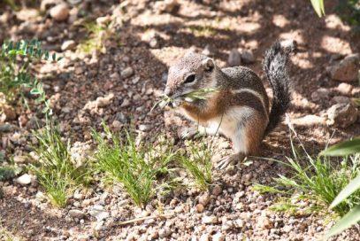 Chipmunk at springtime in Mohave Desert, Arizona