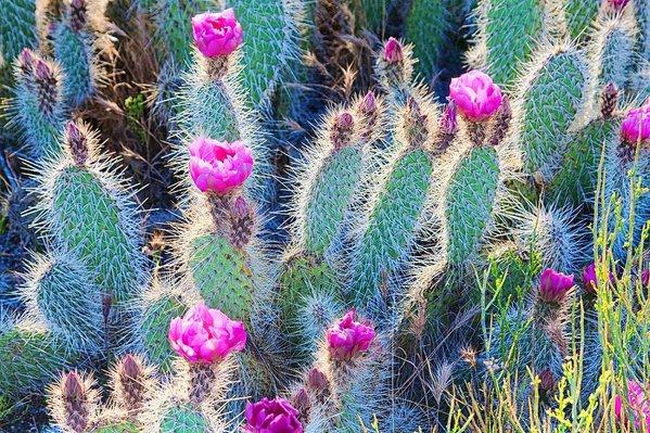Happy pink cactus desert flowers