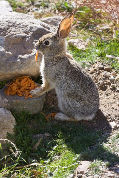 Cottontail rabbit eating pealled carrots