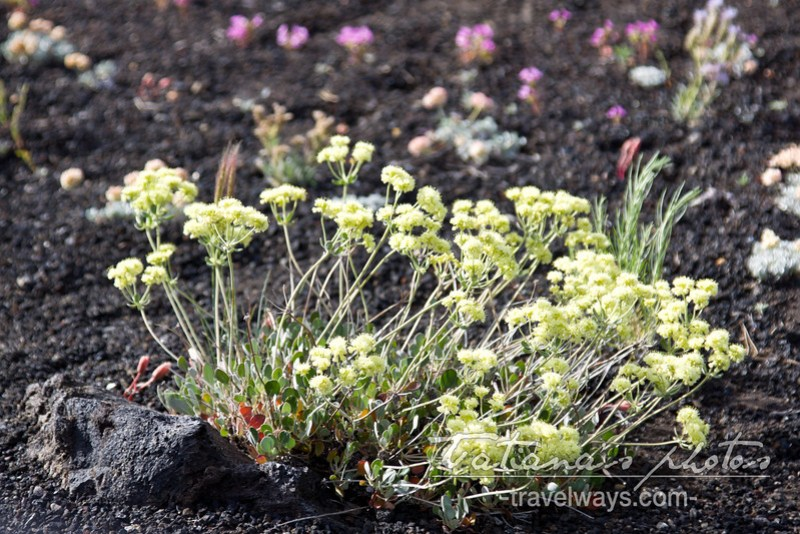Flowers at the Craters of the Moon
