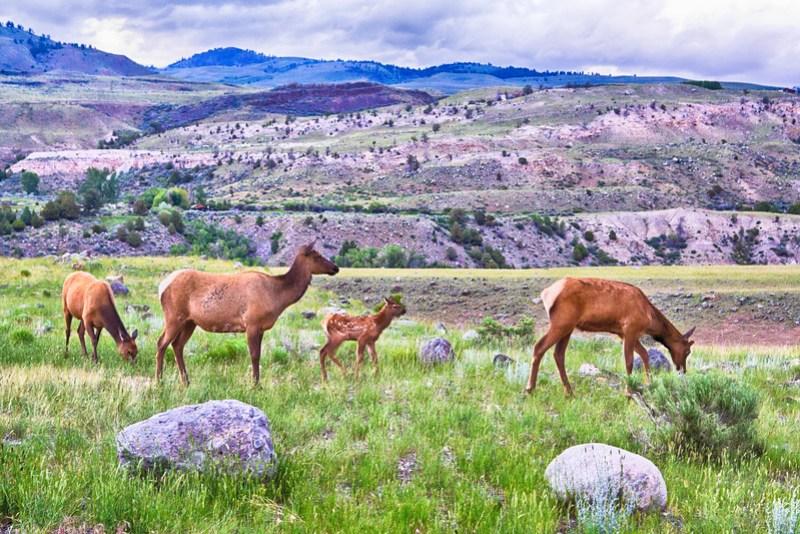 Deer in Yellowstone