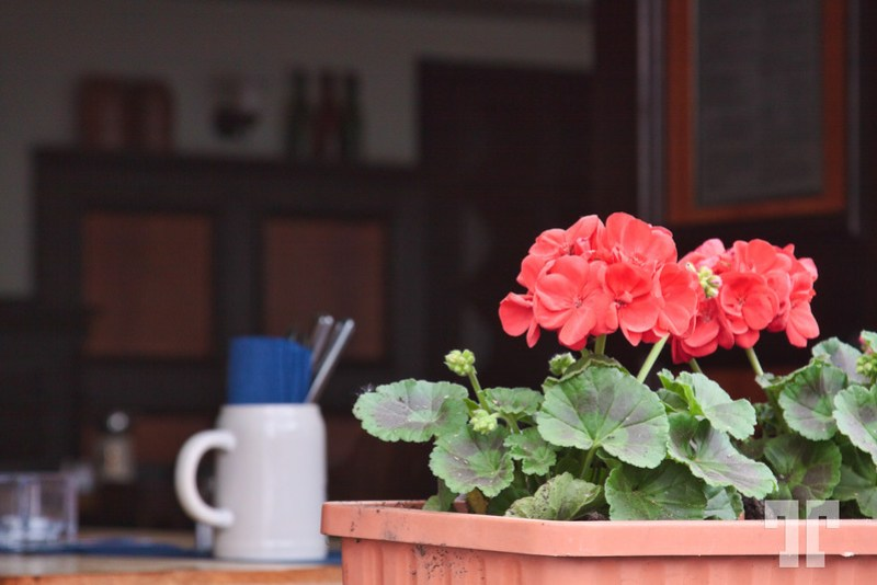 Geranium flowers in the restaurant window