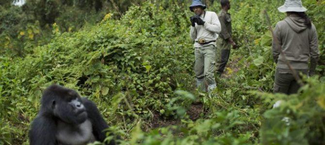 Gorilla Trekking In Rwanda This Summer