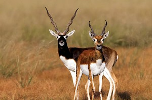 Vetnai Blackbuck
