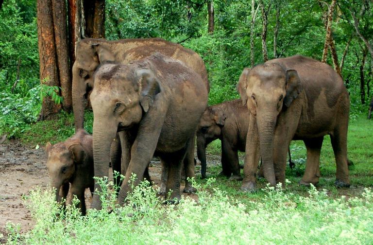 Elephants-at-Dooars.jpg