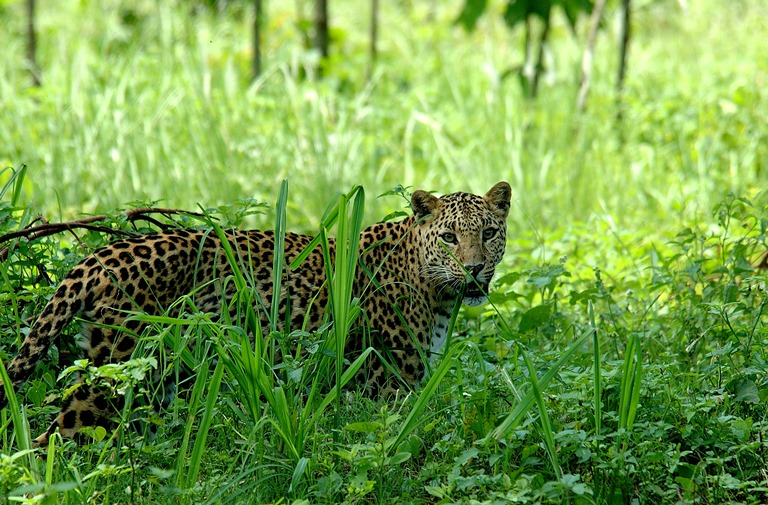 Leopard-in-NB.jpg