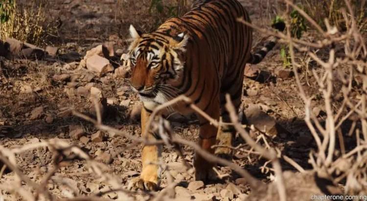 India-Bengal-Tiger