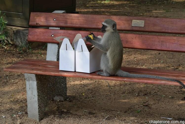 Kruger_monkey