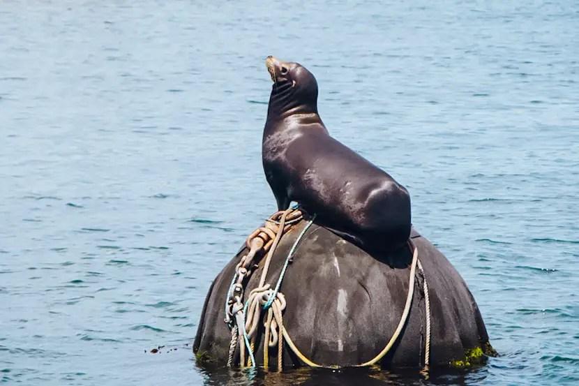 San Francisco to Monterey - Sea lion in Monterey