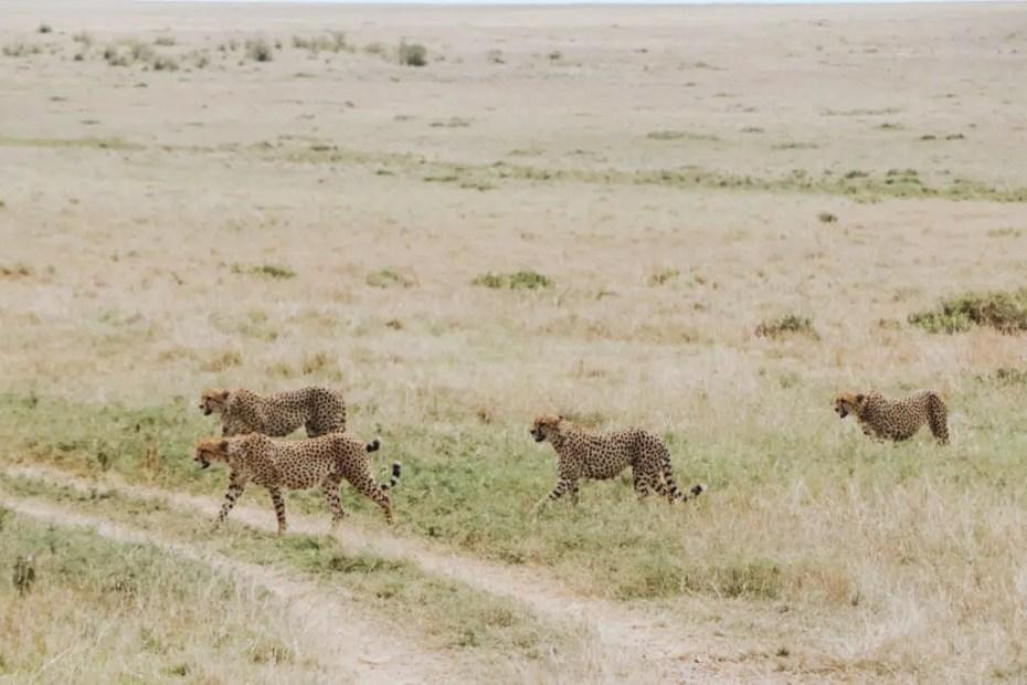 Masai-Mara-Tano-Bora-Cheetahs