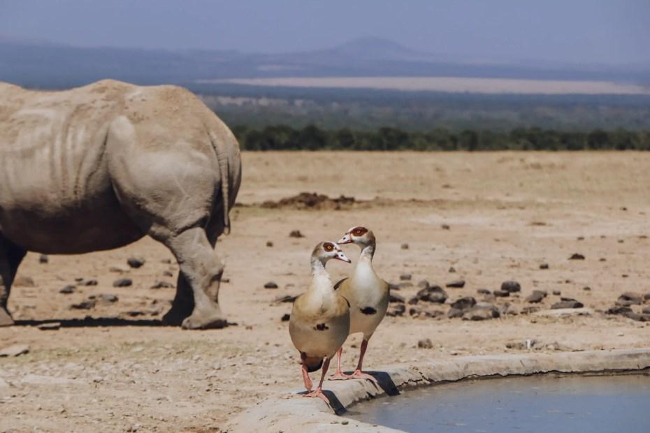 Rhinos and Birds