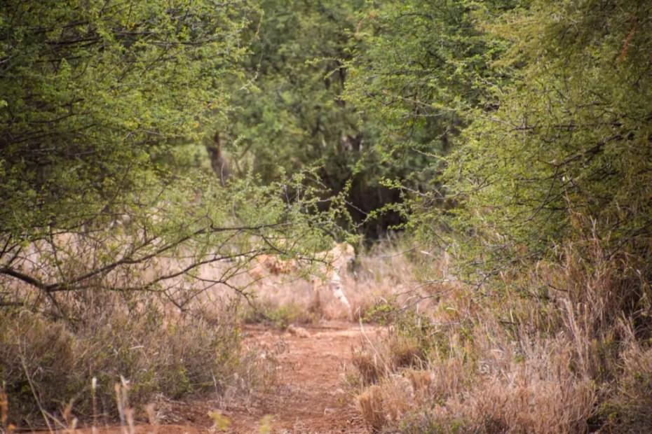 Cheetah-Bush-Walk