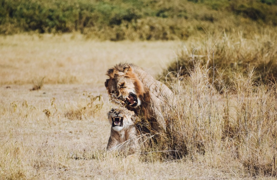 lions mating in Amboseli National Park