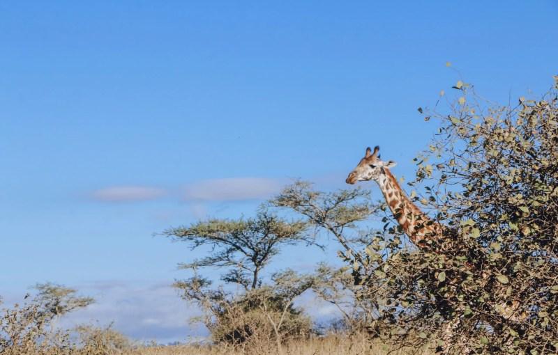 Nairobi National Park Giraffe