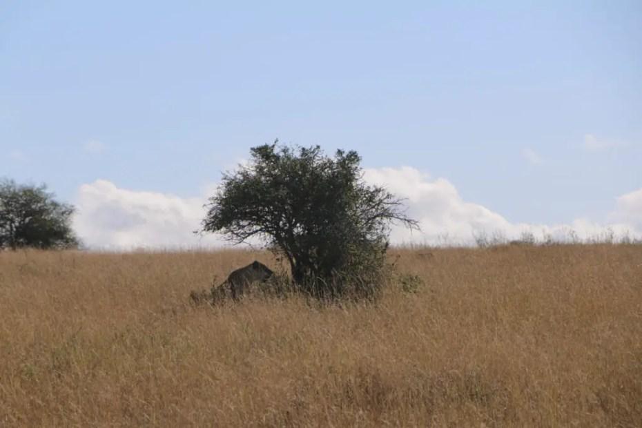 Nairobi National Park Lion