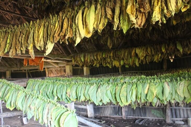 Tobacco set to dry at a local farm