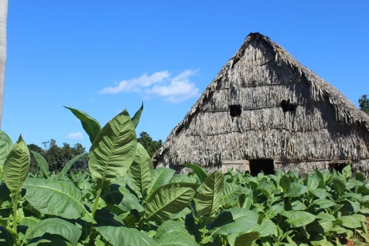 Tobacco farm despadillo