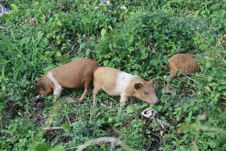 baby pigs at a farm