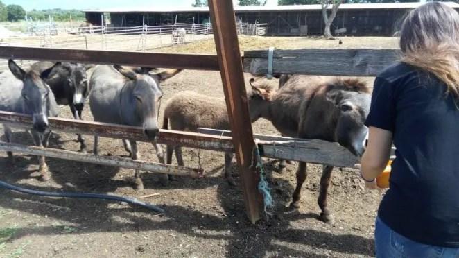 Măgăruși de la ferma, Croația