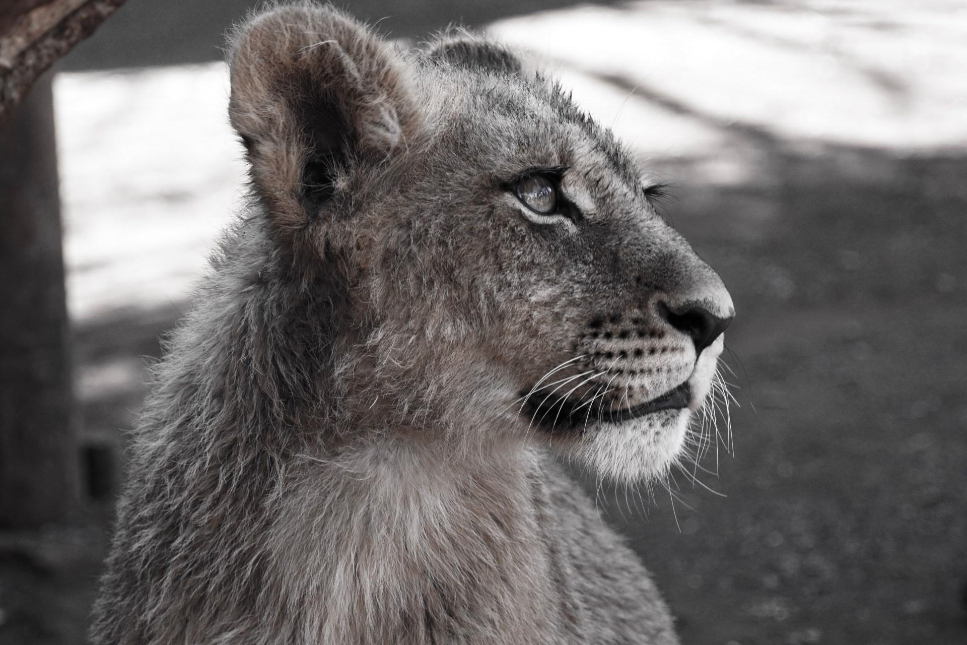 leeuw Ukutula Zuid-Afrika
