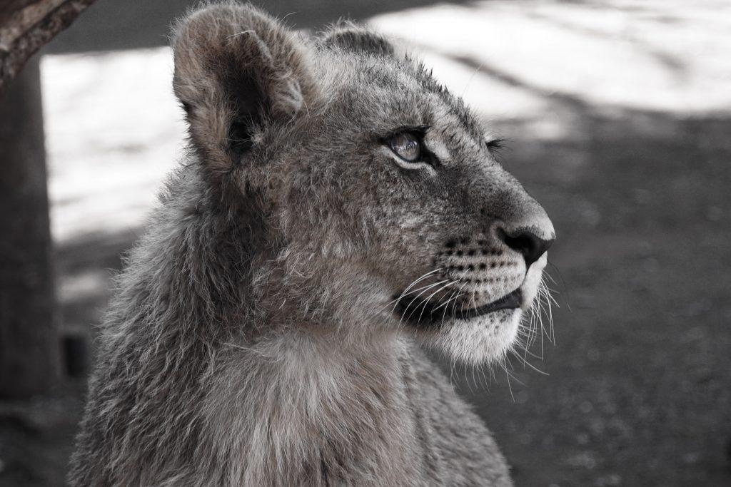 Baby leeuw, Ukutula Zuid-Afrika