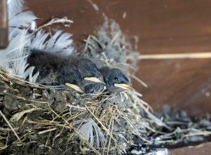 Baby vogels Skomer Island