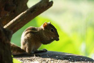 Sri Lanka, Eekhoorn, Wilpattu Nationaal Park