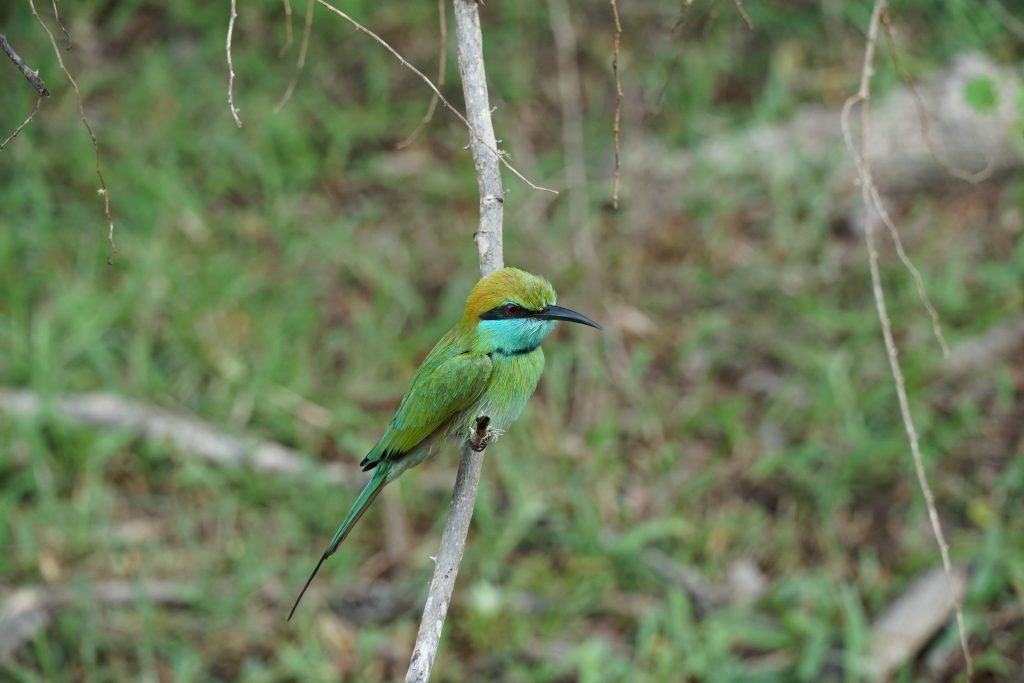 Sri Lanka, Bee-Eater, Yala National Park