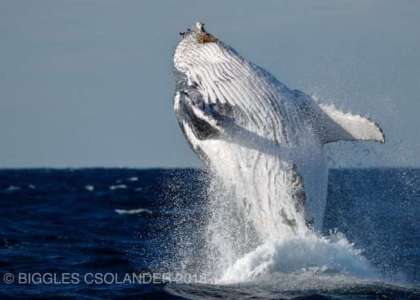 Whale fully breached out of water and caught on camera by Oz Whale Watching