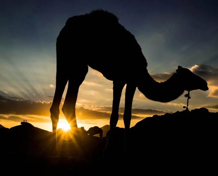 cammello fotografato all'alba durante l'ora blu
