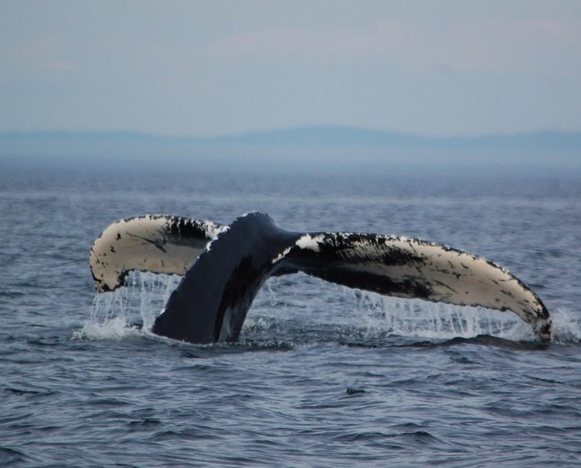 avvistare le balene a Tadoussac