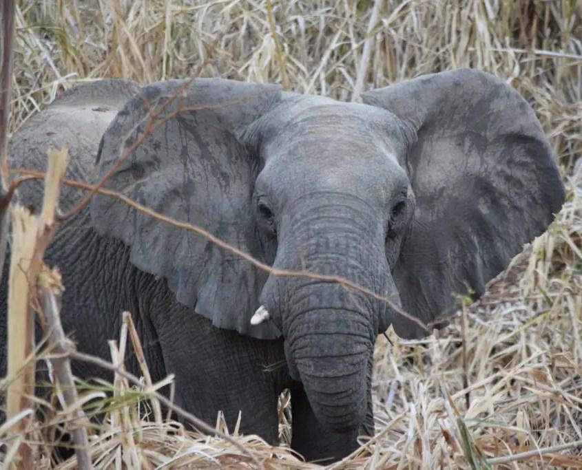Elefante Brandeberg