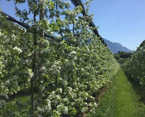 vigne fiorite