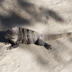 Iguana near Tulum
