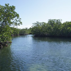 Mangroves line the sides of this river. Crocodiles and other large reptiles live here.